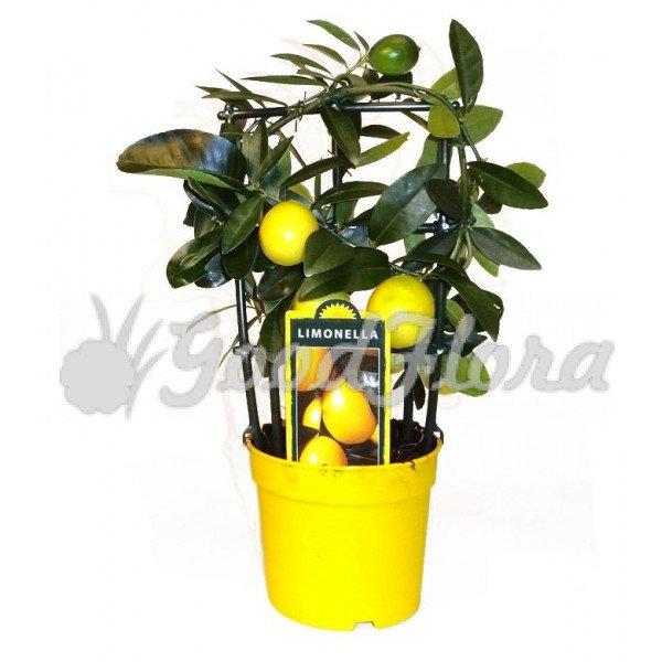 Цитрофортунелла Вулкан Лимон