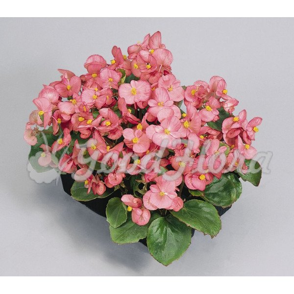 Бегония вечноцветущая розовая
