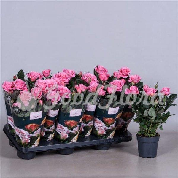 Роза парад Тиффани