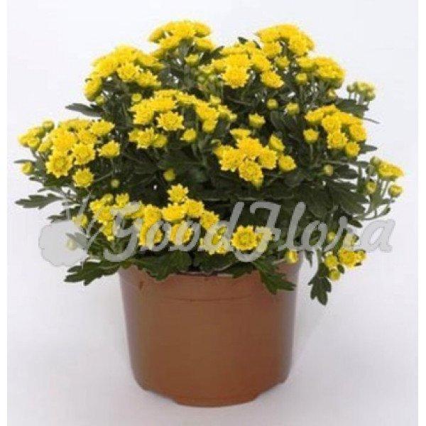 Аджания пацифика жёлтая (хризантема тихоокеанская)