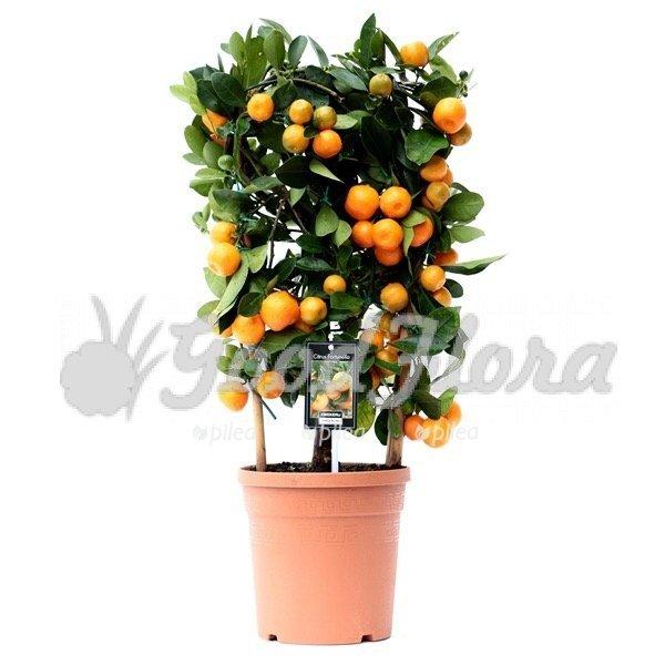Купить домашние плодовые растения