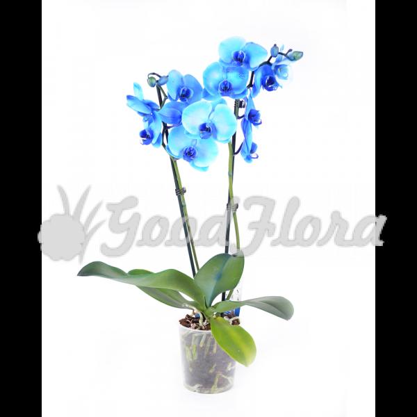 Фаленопсис Королевский Голубой 2 ст