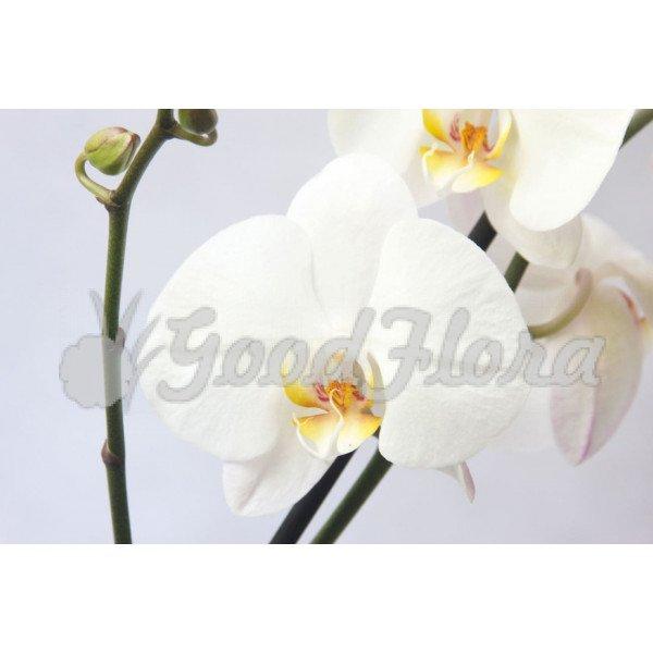 Фаленопсис Формидабло белый
