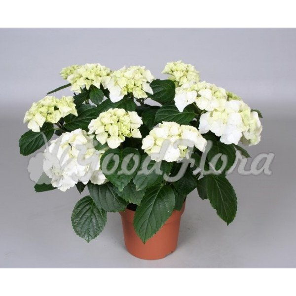 Гортензия (Гидрангея) белая