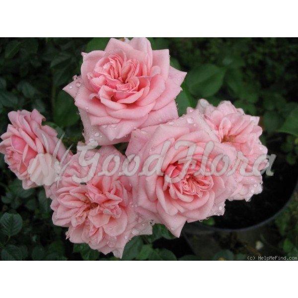 Роза патио Розовая Люкс