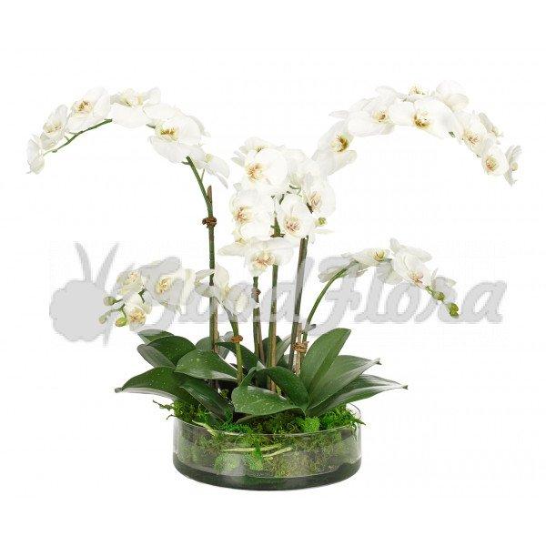 Фаленопсис Белый 5 ст