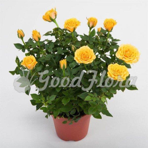 Роза Кордана Желтая Аполло