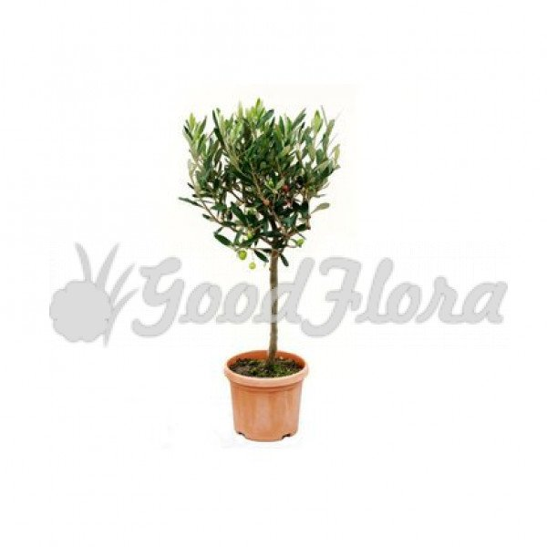 Оливковое Дерево штамбовое