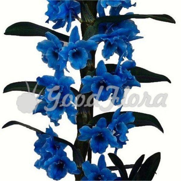 Дендробиум Нобиле Королевский Голубой 1 ст