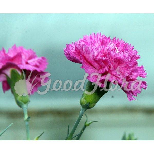 Гвоздика Оскар пурпурно-розовая