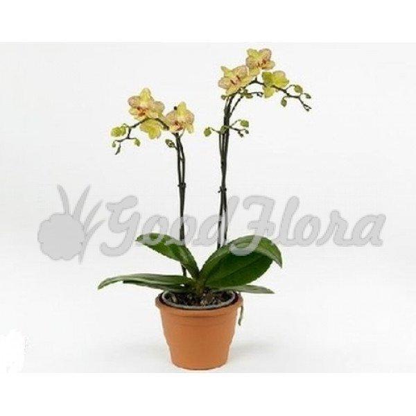 Фаленопсис Желто-Красный 2 ст