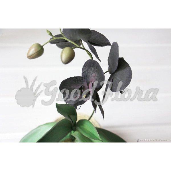 Орхидея Блек Принц 1 ст