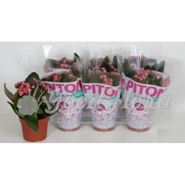 Каланхое Питон розовое