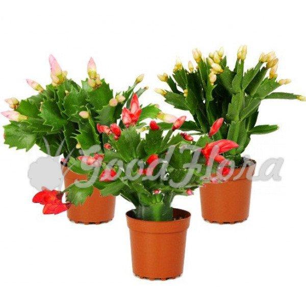 Комнатное растение Шлюмбергера Микс