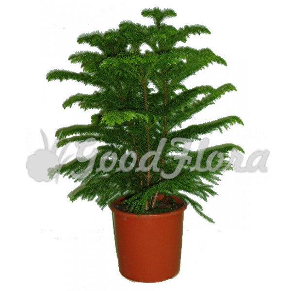 комнатные хвойные растения купить
