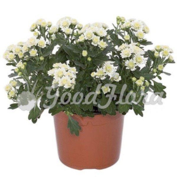 Аджания пацифика белая (хризантема тихоокеанская)