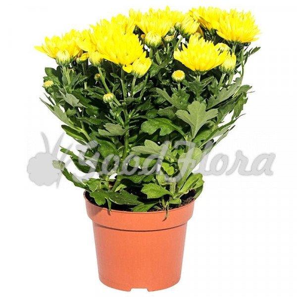 Хризантема Желтая Кармел