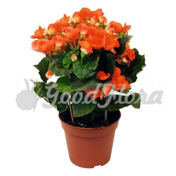 Бегония элатиор оранжевая