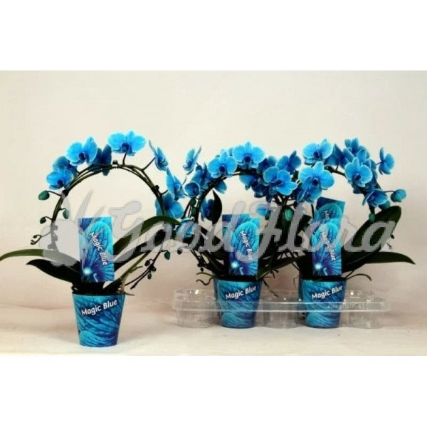 Фаленопсис Королевский Голубой арка 2 ств