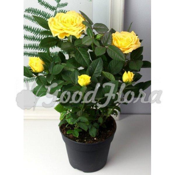 Роза Патио Хит Жёлтая Лара