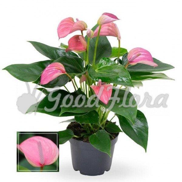 Антуриум андрианум Джоли розовый