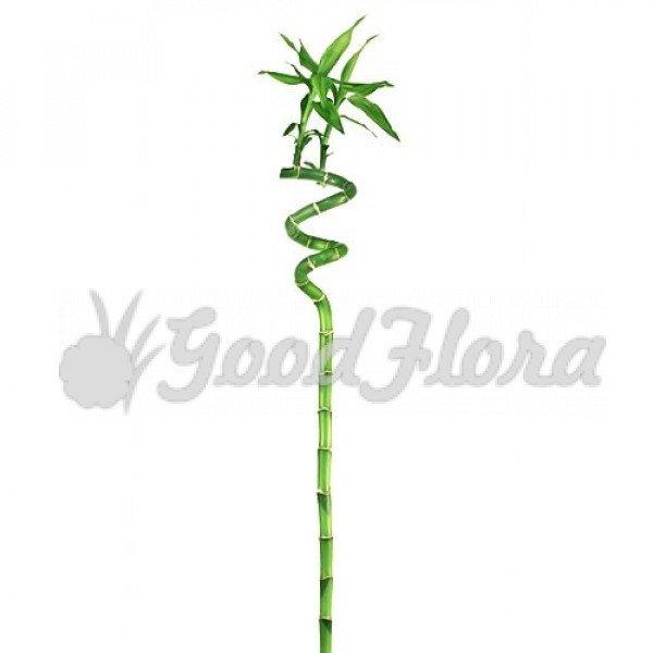Бамбук лаки спираль в пробирке