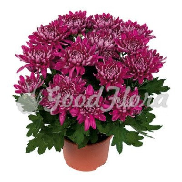 Хризантема Пурпурная Кристал Пурпл