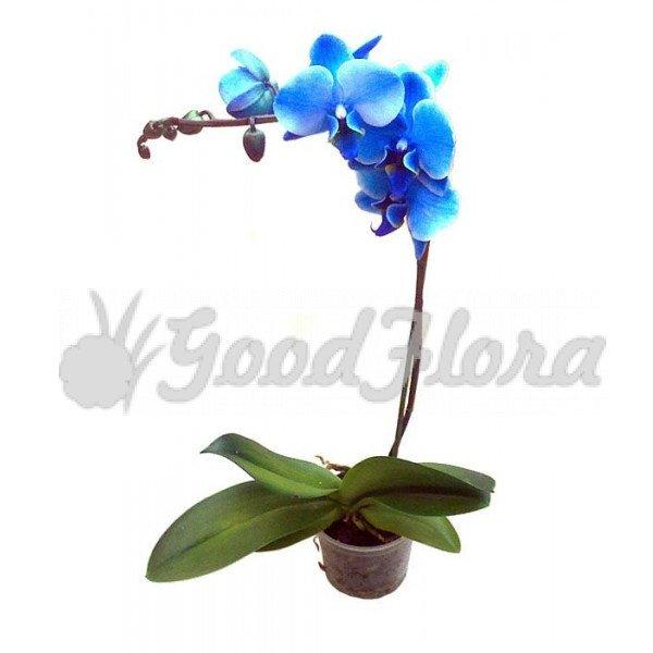 Фаленопсис Королевский Голубой 1 ст
