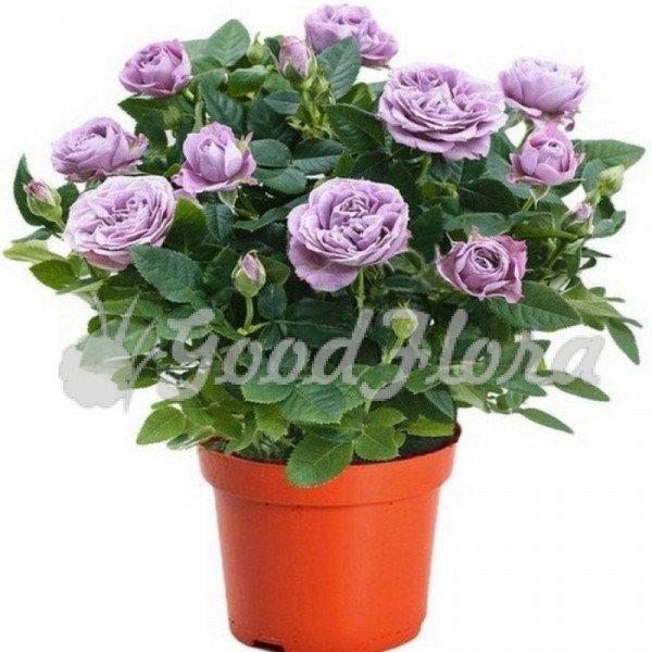 Роза Кордана Сиреневая Лами