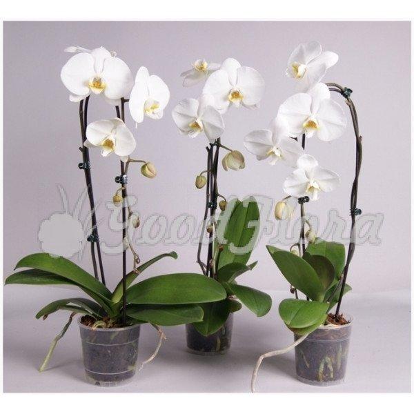 Фаленопсис Белый каскад 1 ст