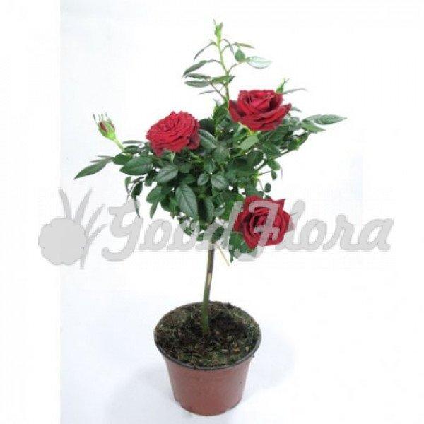 Роза штамбовая микс