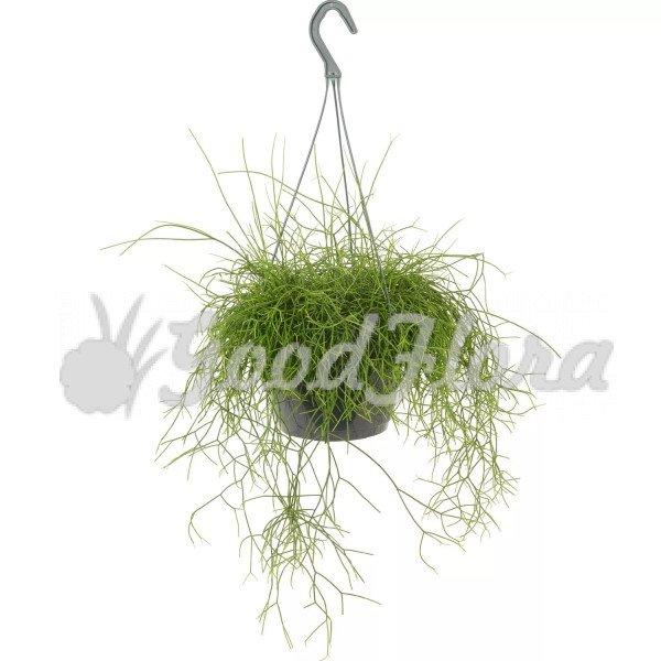 Рипсалис Кассута подвесной