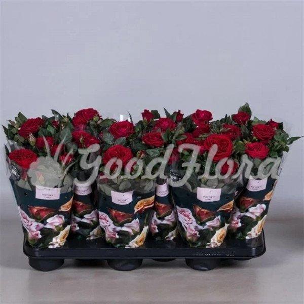 Роза парад Виктори (красная)