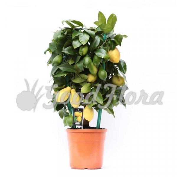Цитрофортунелла Лимон цилиндр