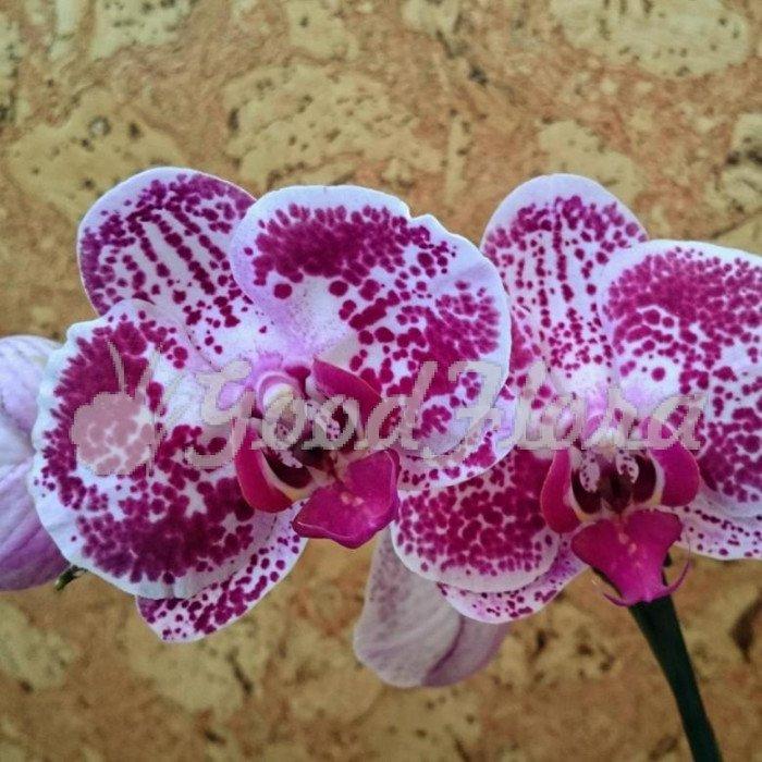 Ванильные орхидеи фото