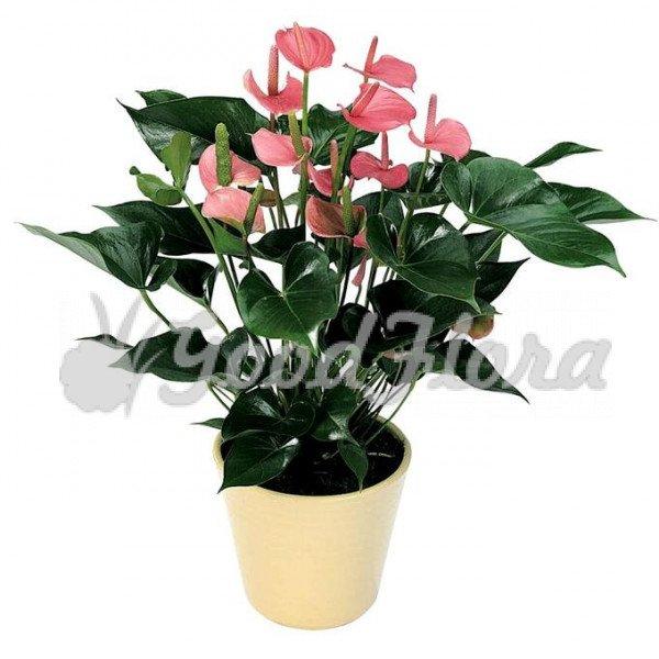 Антуриум андрианум розовый