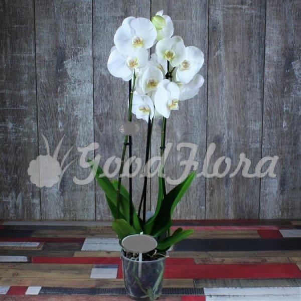 Фаленопсис Белый 3 ст