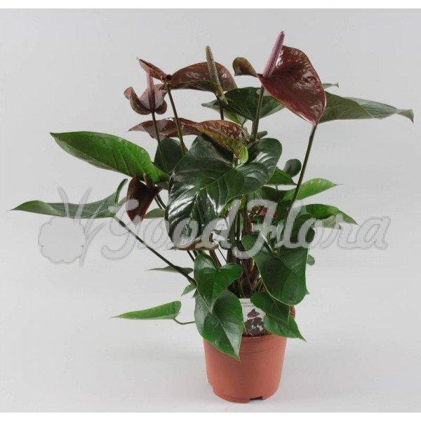 Антуриум андрианум Арамон коричневый