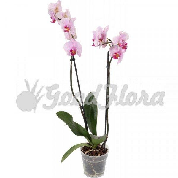 Фаленопсис Розовый 1 ст