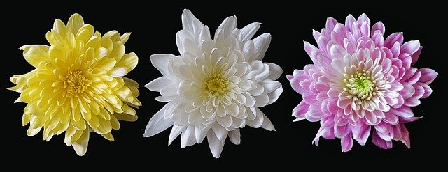 Хризантемы в горшках разных цветов и оттенков