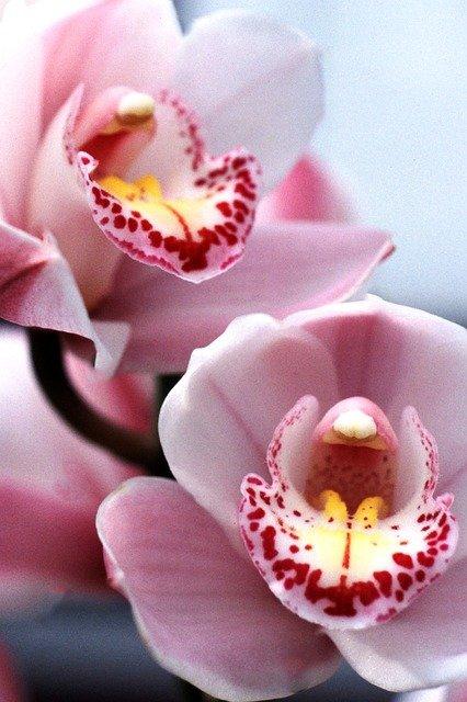 Каталог орхидей Цимбидиумов