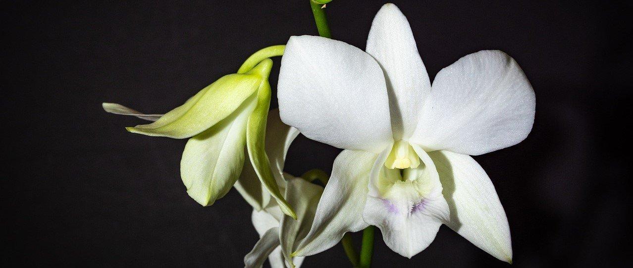 Каталог орхидей Дендробиумов