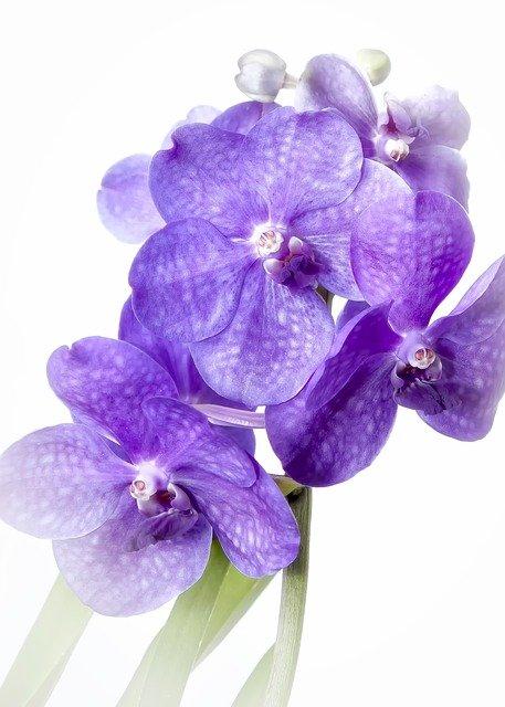 Домашнее растение Орхидея Ванда